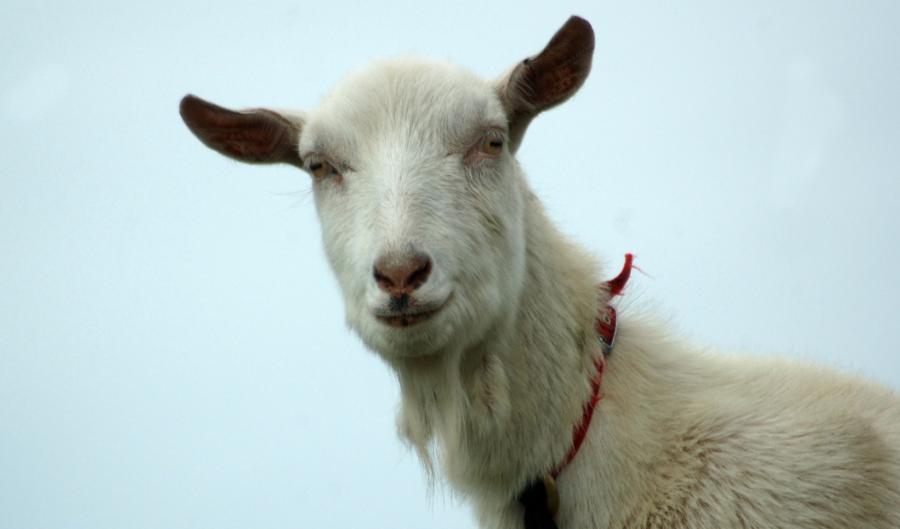 barry bonds the goat